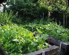 zeleninovy zahon1