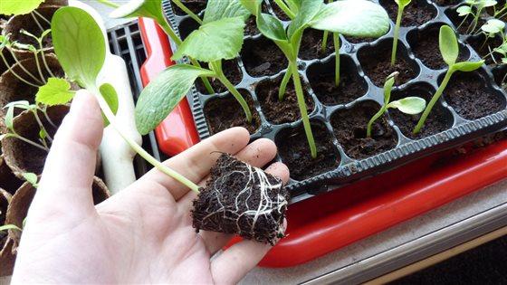 Presádzanie sadeníc
