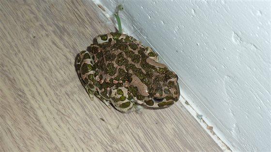 Žabka nám doskákala do kuchyne