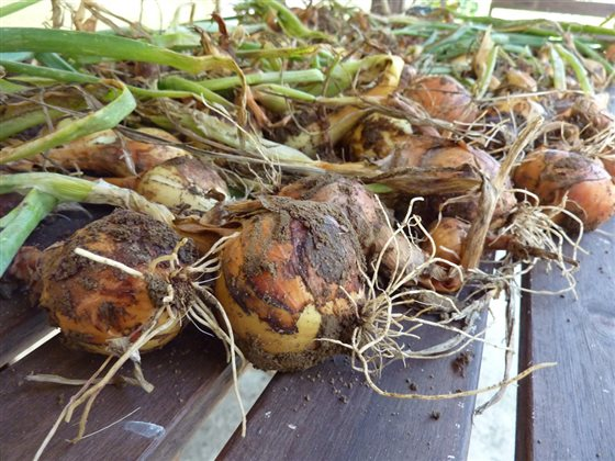 Zber mrkvy a cibule na uskladnenie