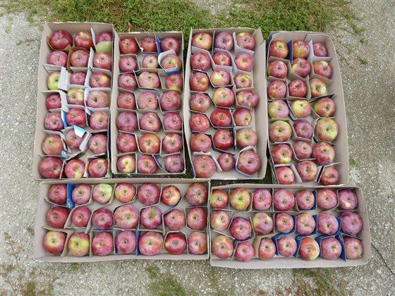 Jablká pripravené na zimné skladovanie